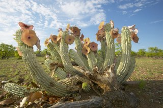 Hoodia (Queen of the Namib)