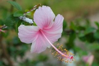 Hibiscus flower extract
