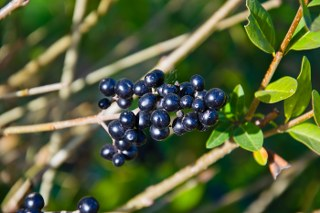 Ligustrum fruit
