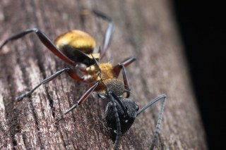 Polyrhachis ant