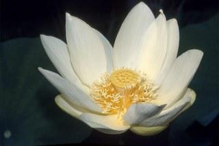 Snow lotus flower