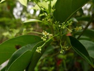 Cinnamomum Parthenoxylon