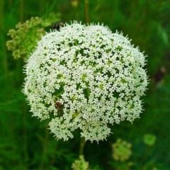 Cnidium Seed