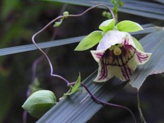Codonopsis Lanceolata