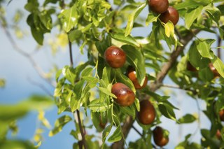 Jujube Fruit (Da Zao)