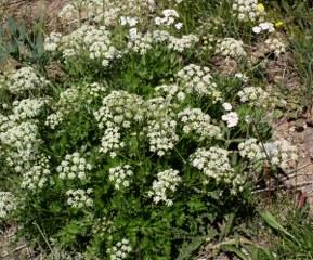Ligusticum Rhizome (Ligusticum Wallichii)