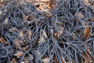 Ophiopogon Root