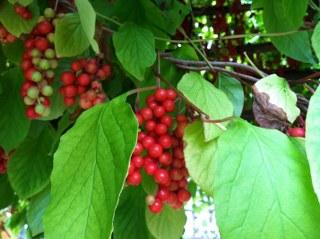 Schizandra Fruit