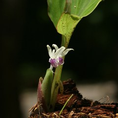 Kaempferia parviflor