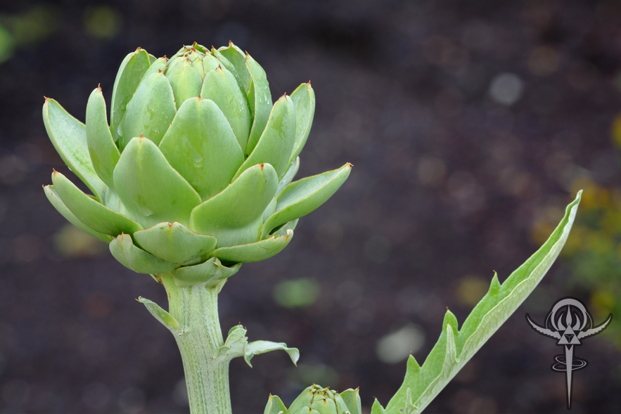Artichoke leaf2