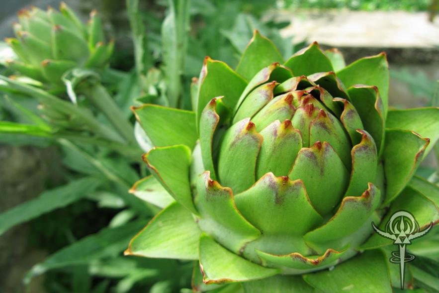 Artichoke leaf4