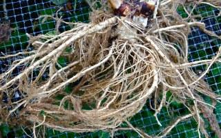 Dang Gui (Tang Kuei) Root