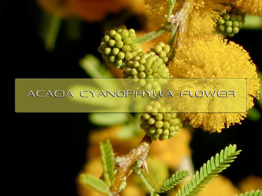 Benefits Of Acacia Cyanophylla Flower